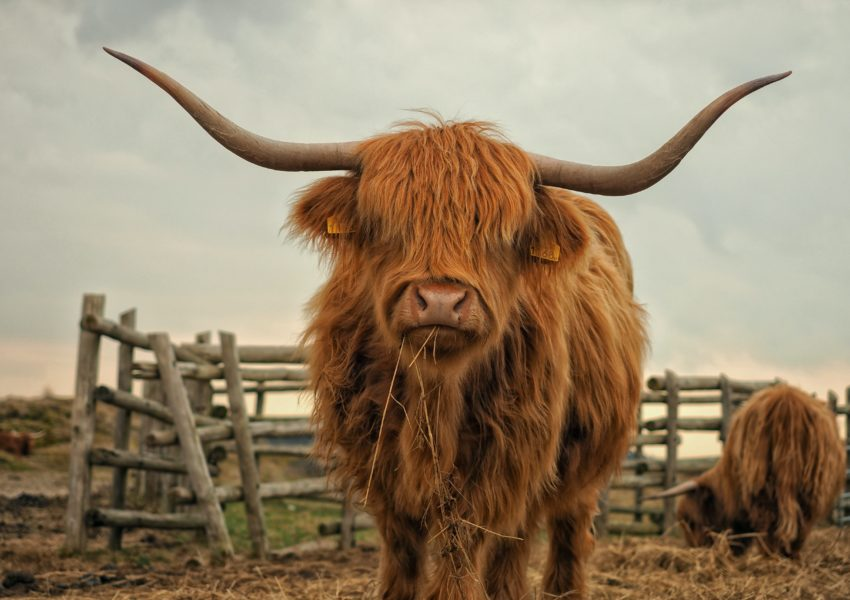 hands-on-travel-deaf-tours-scotland-cow