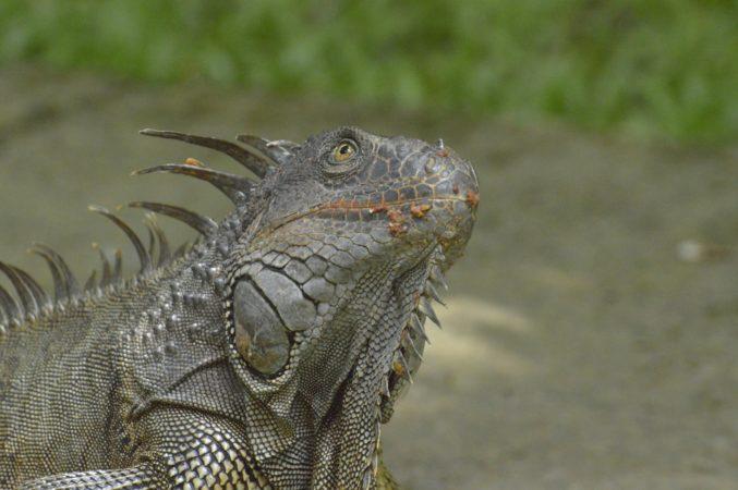 hands-on-travel-deaf-tours-costa-rica-iguana