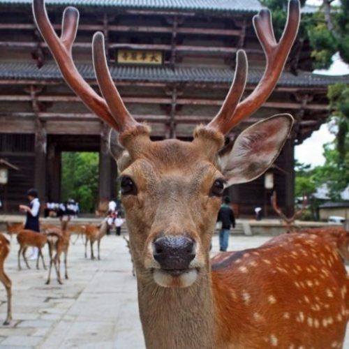 hands-on-travel-deaf-tours-japan-deer-nara