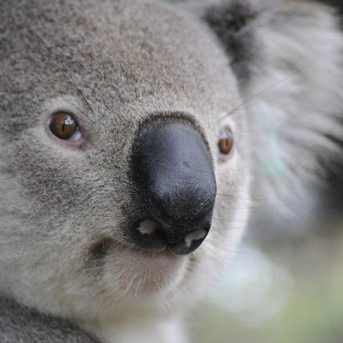 hands-travel-deaf-tours-australia-new-zealand-koala