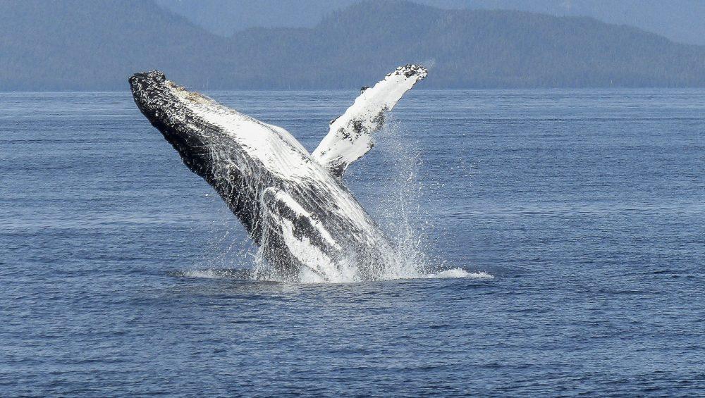canada maritimes 2023 humpback-whale